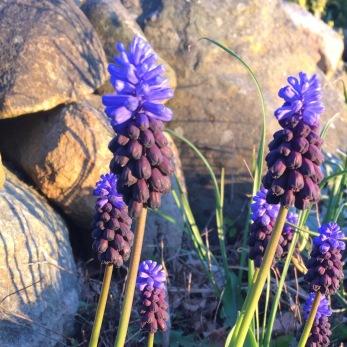 Muscari latifolium - 5-pack