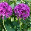 Allium Purple Sensation, 5-pack