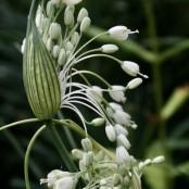 Allium carinatum sup. pulchellum 'Album'