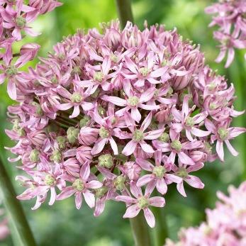 Allium nigrum Pink Jewel®