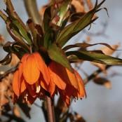 Fritillaria Early Dream®