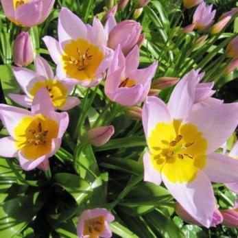 Tulipa saxatilis (kretatulpan)