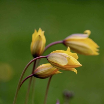 Tulipa sylvestris (vildtulpan)