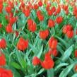 Tulipa praestans Fusilier (låg, flerblommande anemontulpan)