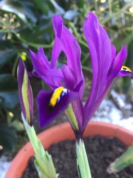 Iris reticulata J S Dijt