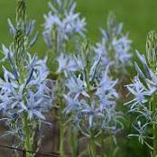 Camassia leichtlinii Blue Heaven (Stjärnhyacint)