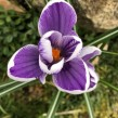 Crocus vernus 'King of the Striped', 5-pack