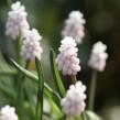 Muscari 'Pink Sunrise'® (pärlhyacint),3-pack