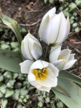 Tulipa polychroma (låg, porslinstulpan)