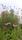 Sanguisorba Echinacea