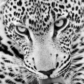Leopard, fyrkant, 30x40cm
