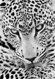 Leveranstid 1,5v - Leopard, fyrkant, 30x40cm - Leopard, fyrkant, 30x40cm