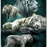 Leveranstid 1,5v - Vita tigrar, fyrkant 60x80cm