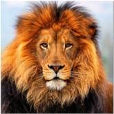 Lejon, rund 50x50cm