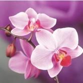 Orchide, fyrkant, 20x20cm