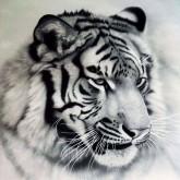 Leveranstid 1,5v. Tiger s/v, fyrkant, 50x50cm