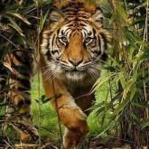 Tiger, fyrkant, 60x80cm