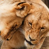 Lejon kärlek, fyrkant,70x50cm