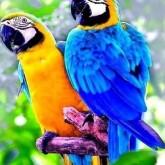 Papegojor, fyrkant, 50x60cm