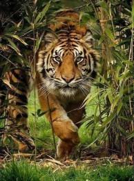 Tiger, fyrkant, 60x80cm - Tiger, fyrkant, 60x80cm