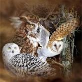 Rovfåglar, fyrkant 50x50cm