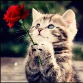 Kattens ros, fyrkant 20x20cm