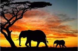 1,5-2v leveranstid - Elefant vandring, fyrkant 40x30cm - Elefant vandring 40x30cm