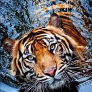 Tiger i vatten, fyrkant 80x100cm