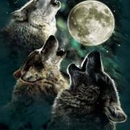Leveranstid 1,5v - Vargar i fullmåne, fyrkantig, 50x70cm