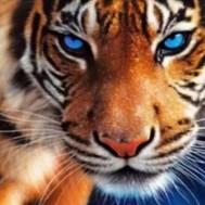Leveranstid 1,5-2v. Tiger, fyrkant 50x40cm