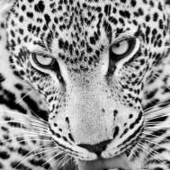 Leveranstid 1,5v - Leopard, fyrkant, 30x40cm