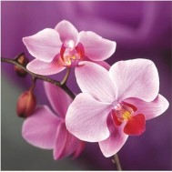 Leveranstid 1,5v - Orchidé, fyrkant 30x30cm