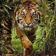 Leveranstid 1,5v - Tiger, fyrkant, 60x80cm