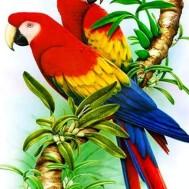 Papegojor, fyrkantig 30x40cm