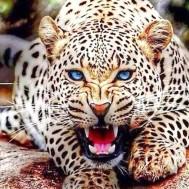 Geopard, fyrkantig 80x60cm