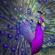 Påfågel, fyrkantig 40x40cm