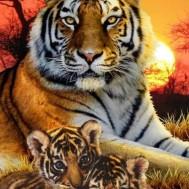 Tiger familj, fyrkantig 60x80cm