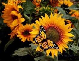 Fjäril i solros, fyrkantig 40x30cm -