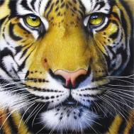 Tiger, fyrkantig 50x50cm