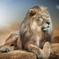 Lejon hanne, fyrkant 60x60cm