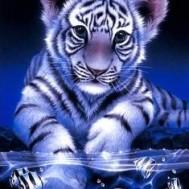 Tiger bebis fiskar, fyrkantig 30x40cm