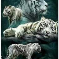 Vita tigrar, fyrkantig 50x70cm