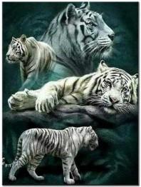 Vita tigrar, fyrkantig 50x70cm -