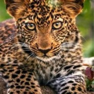 leveranstid 1,5-2v,Diamondpainting, diamant tavla Leopard bebis, fyrkant 40x60cm