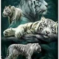 Leveranstid 1,5-2v, Diamondpainting, diamant tavla Vita tigrar, fyrkantig 50x70cm