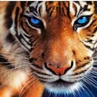 Tiger blå ögon, rund 50x40cm