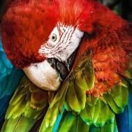 Papegoja, fyrkant 40x50cm