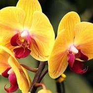 Blomma orchidé gul, fyrkant 40x30cm