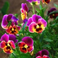 Blommor lila, fyrkant 40x50cm