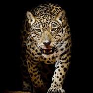 Geopard gående, fyrkant 50x50cm